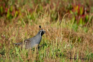California Quail are quite common at Point Reyes National Seashore. The head plume appears as a single feather but is actually composed of a cluster of 6 overlapping feathers. Sony a9 & 1.4x teleconverter + 100-400mm lens @560 mm, ISO 640, f/8.0, 1/1250s.©Stanley Buman. All Rights Reserved.