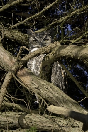 This Great Horned Owl is tucked into the Cypress tree, making it more difficult to locate.Sony a9 + 100-400mm lens & 1.4x teleconverter @560 mm, ISO 400, f/8, 1/1600.  ©Stanley Buman.  All Rights Reserved.