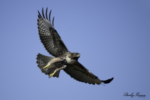 Red-tailed-Hawk-in-flight-1422