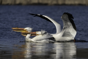 White-Pelican-behavior-1637