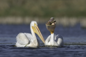 White Pelican with a fish in its pouch.  Canon 10D + 500mm lens & 1.4x teleconverter, ISO 100, f8, 1/800 ©Stanley Buman. All Rights Reserved, 2004, Black Hawk Lake Wildlife Area, IA.