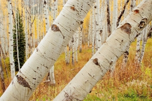 Leaning Quaking Aspen Trees