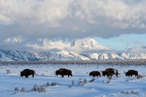 Now that the Bison hunt on the National Elk Refuge has ended, many of the Bison remaining in the Tetons are working their way south to the Refuge.  Feeding conditions are better for the herd on the refuge.  Sony a7R III + 24-105mm lens @94 mm, ISO 800, f/13, 1/800.  ©Stanley Buman.  All Rights Reserved.