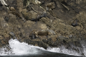 California-Sea-Lions-resting-on-Farallon-Island-7836