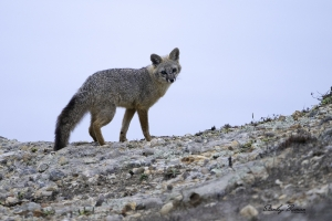 A Gray Fox paused for a photo shoot at dusk on a rock ledge near the Lighthouse.  Sony a9 + 100-400mm lens & 1.4x teleconverter @560 mm, ISO 1250, f/8, 1/15.  ©Stanley Buman.  All Rights Reserved.