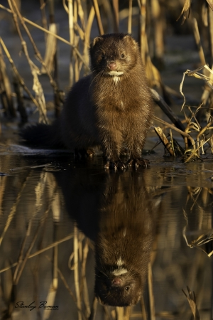 A Mink pauses along a tributary to Willow Creek at Dunbar Slough, Greene County, IA.  Sony a9 + 100-400mm lens & 1.4x teleconverter @ 437 mm, ISO 400, f/8, 1/320.  ©Stanley Buman.  All Rights Reserved.