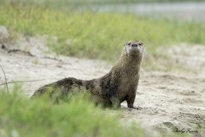 River Otter on the sandy shoreline of Abbott's Lagoon.  Sony a9 + 100-400mm lens & 1.4x teleconverter @384 mm, ISO 800, f/8, 1/400.  ©Stanley Buman.  All Rights Reserved.