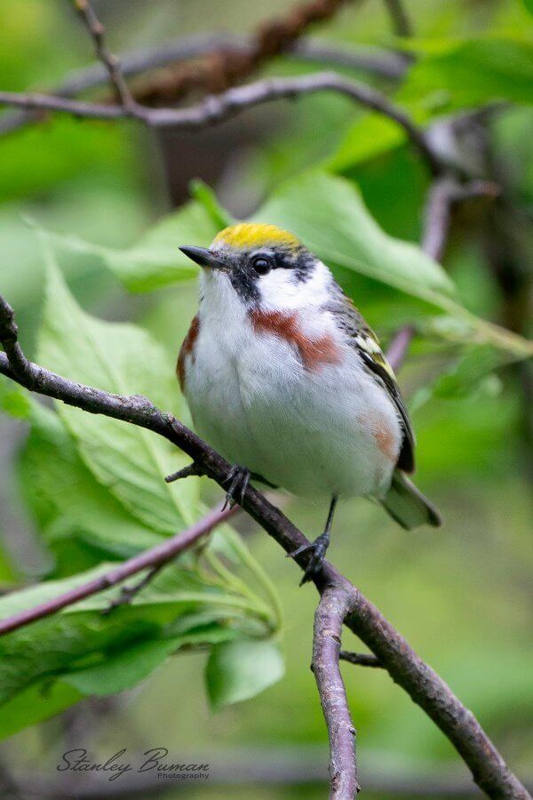 Chestnut-sided Warbler on tree branch