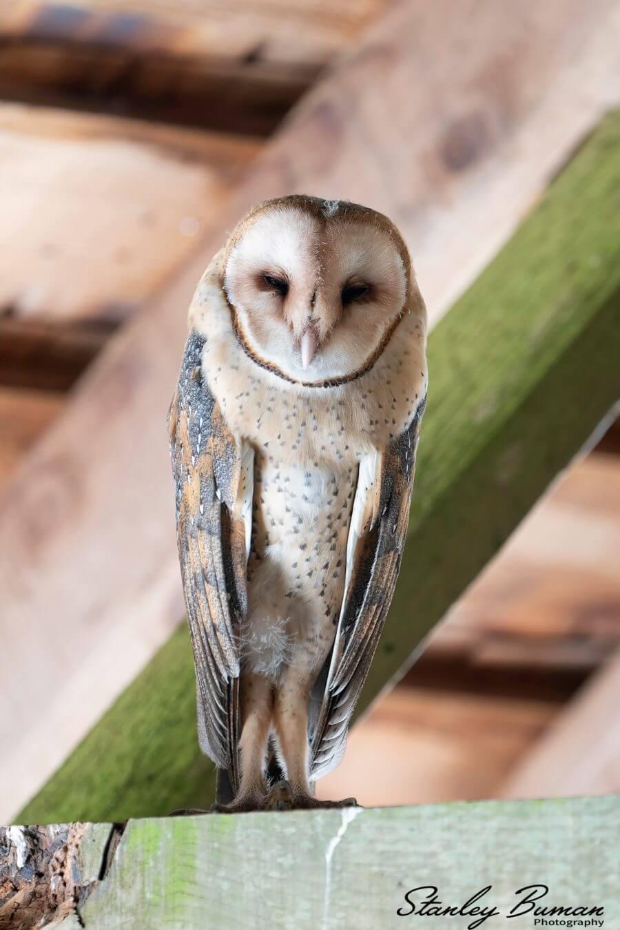 Barn Owl in D Ranch Barn