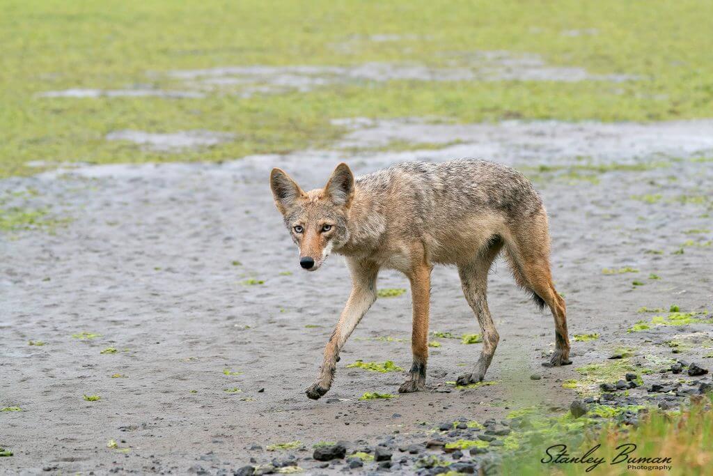Coyote walking the mudflats along Bolinas Lagoon