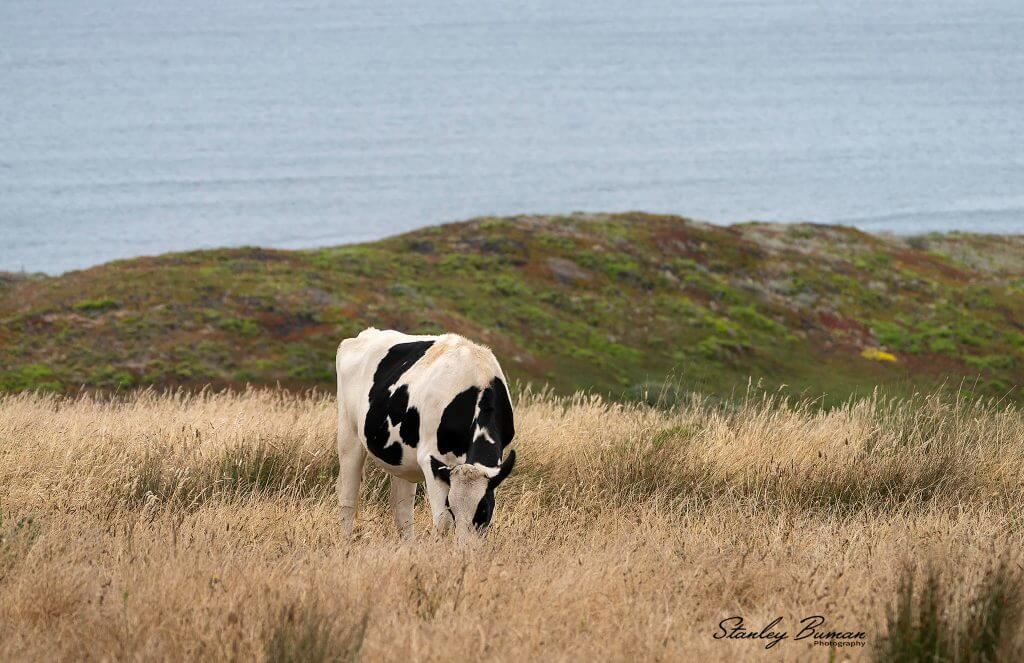 Dairy Cow grazing at Point Reyes
