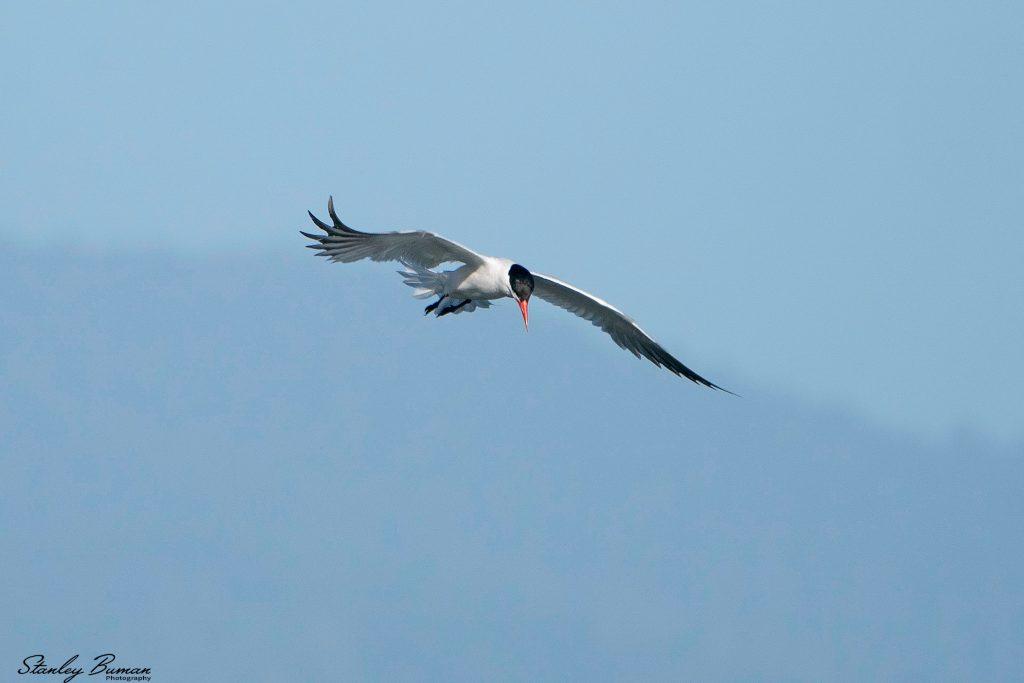 Caspian Tern hovering