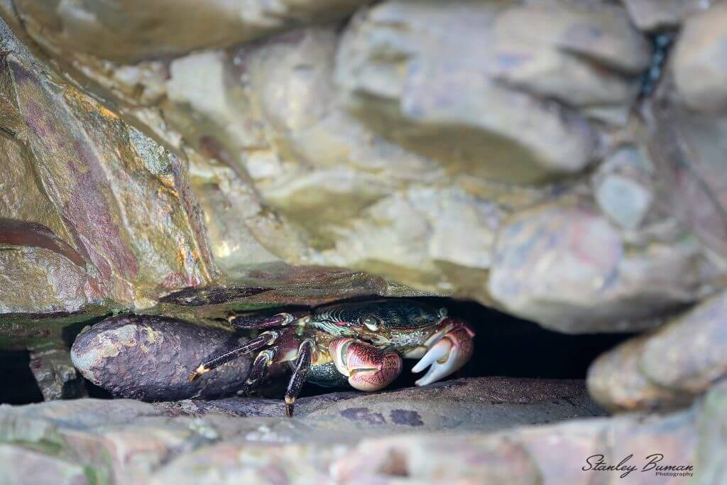 Crab tucked into rock crevice